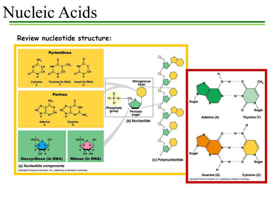 Nucleotide  New World Encyclopedia