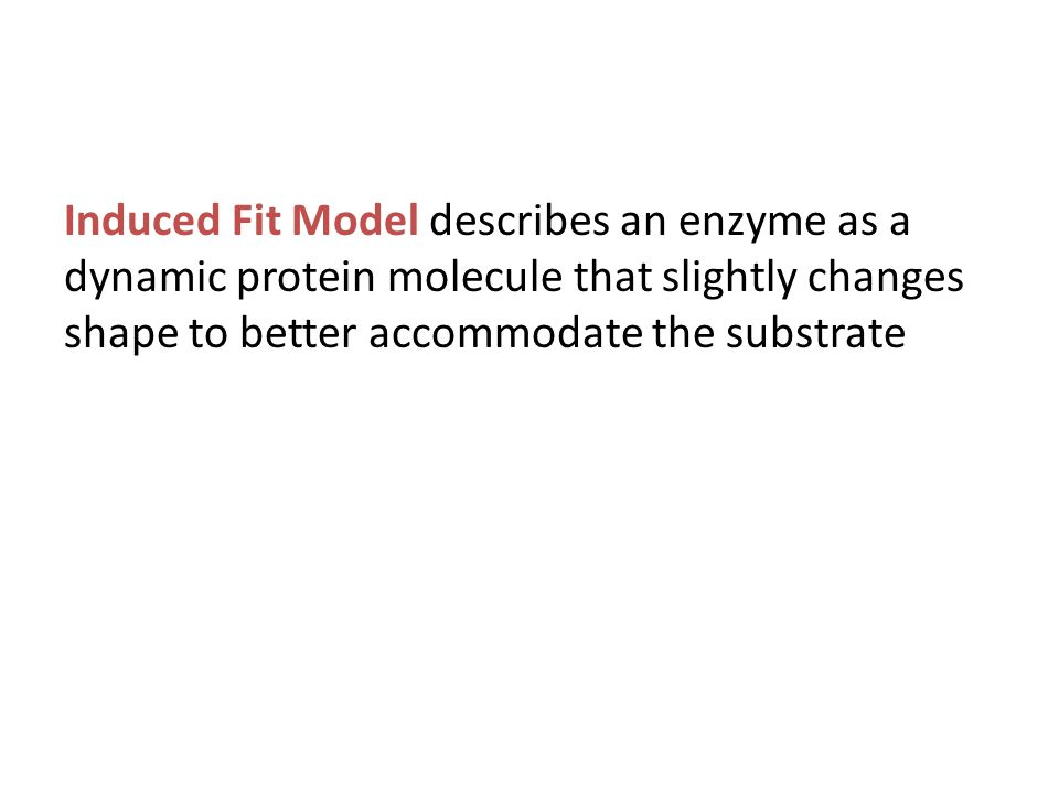 Induced Fit Model describes an enzyme as a dynamic protein molecule that slightly changes shape to better accommodate the substrate