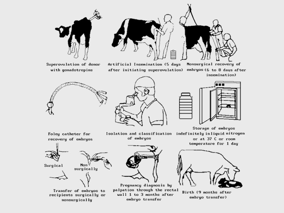 embryo transfer in cattle popular with Embryos the process of embryo transfer in cattle allows us, as registered breeders, to produce more offspring from the outstanding cows in our herds.