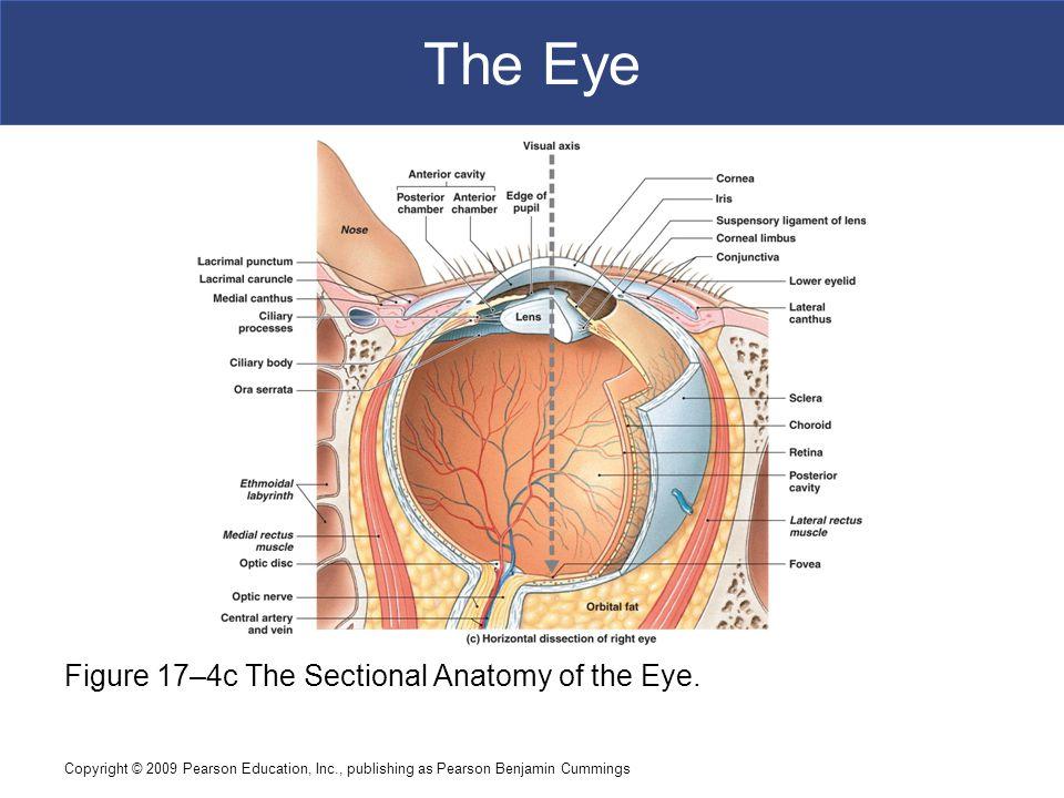 Magnificent Eye Anatomy Limbus Illustration Anatomy And Physiology