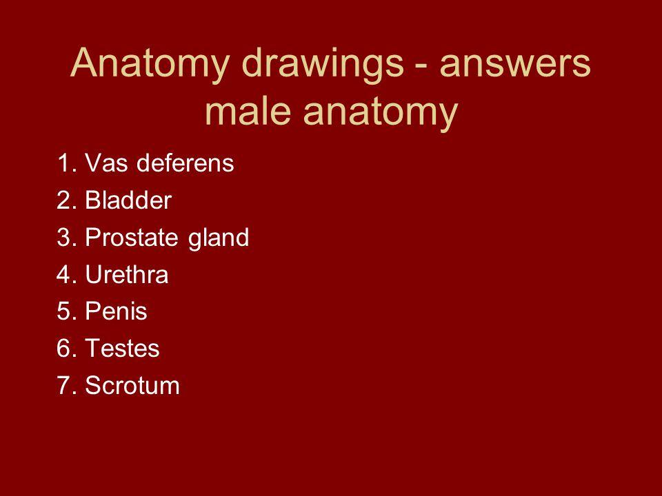 Anatomy drawings - answers male anatomy 1. Vas deferens 2.