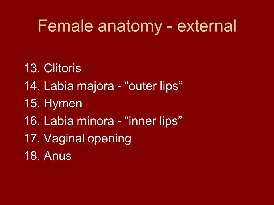 Female anatomy - external 13. Clitoris 14. Labia majora - outer lips 15.