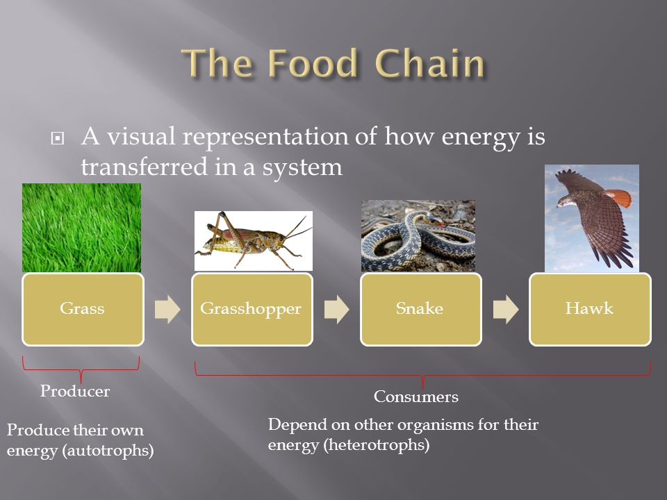  A visual representation of how energy is transferred in a system GrassGrasshopperSnakeHawk Producer Consumers Produce their own energy (autotrophs) Depend on other organisms for their energy (heterotrophs)