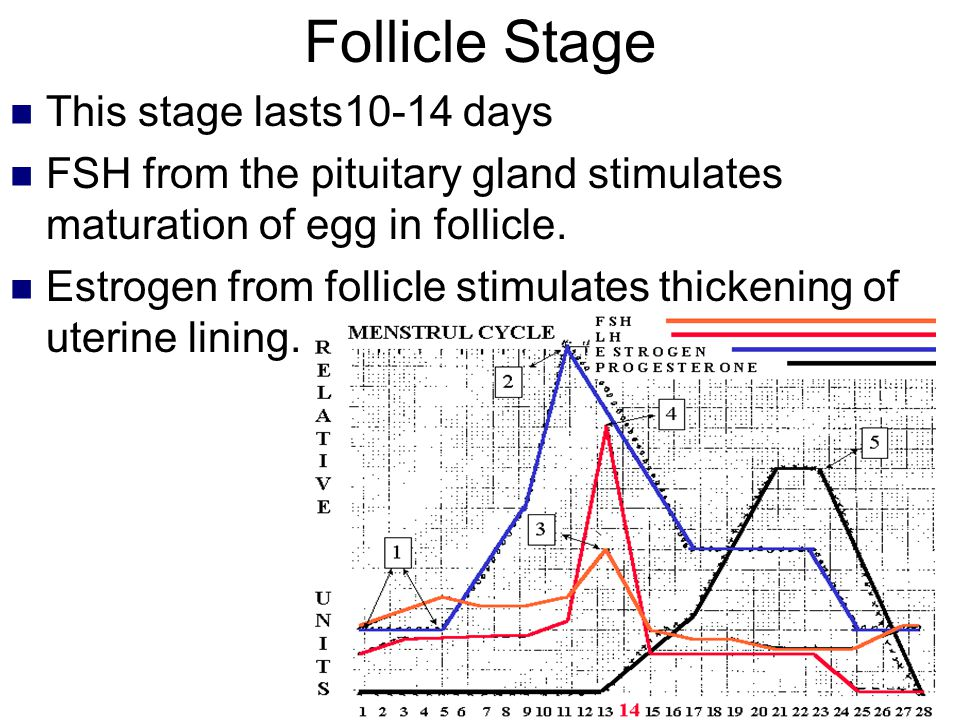 Follicle Stage This stage lasts10-14 days FSH from the pituitary gland stimulates maturation of egg in follicle. Estrogen from follicle stimulates thi