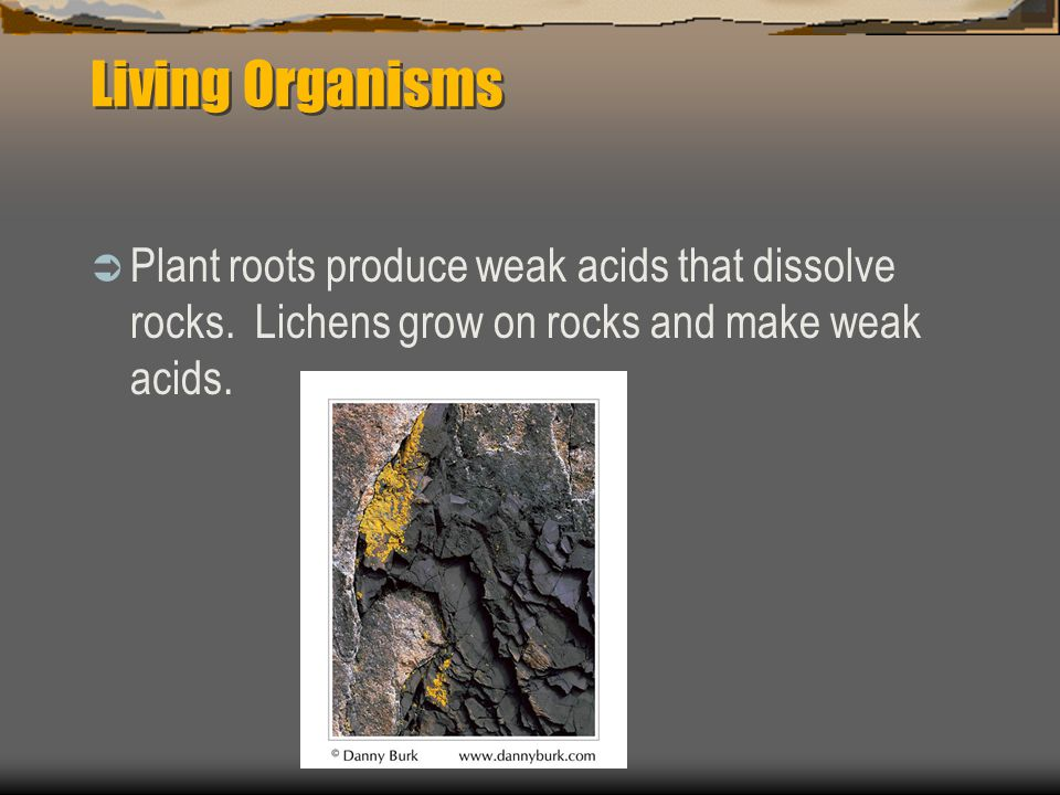 Living Organisms  Plant roots produce weak acids that dissolve rocks.