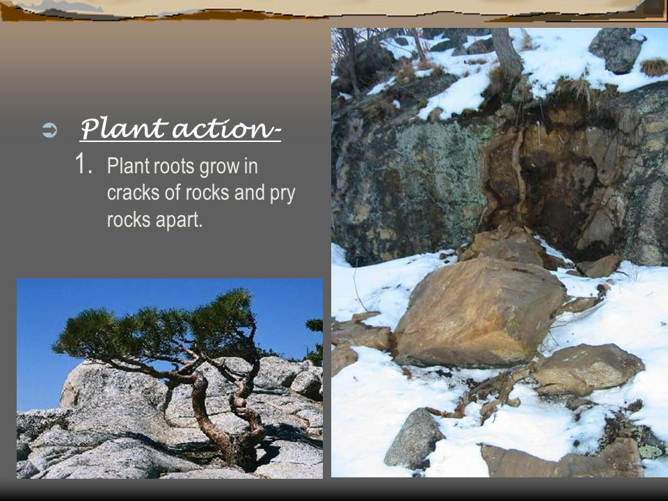  Plant action- 1. Plant roots grow in cracks of rocks and pry rocks apart.
