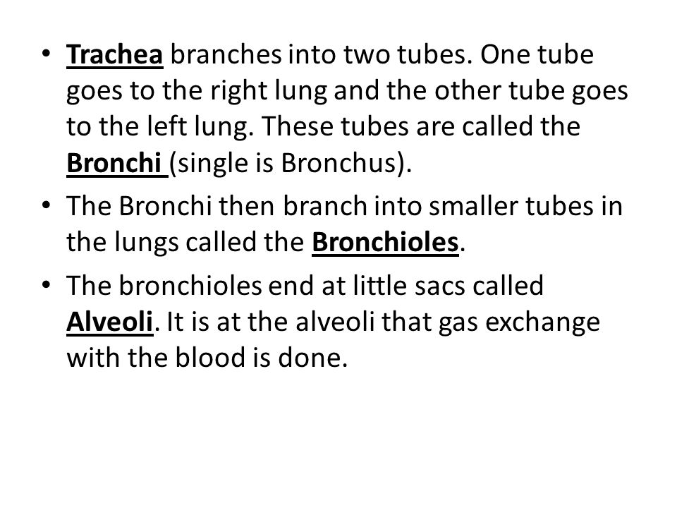 Trachea branches into two tubes.