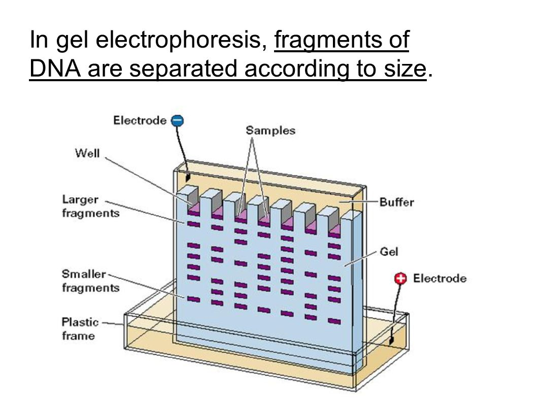 In gel electrophoresis, fragments of DNA are separated according to size.