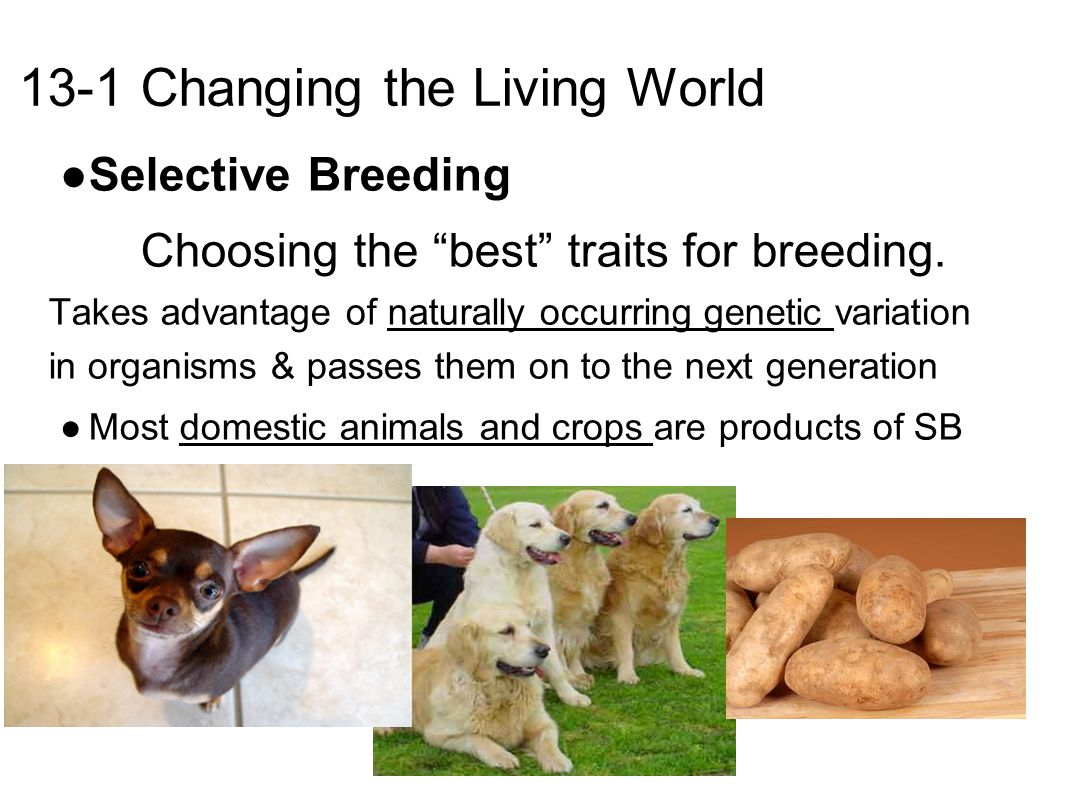 13-1 Changing the Living World ● Selective Breeding Choosing the best traits for breeding.