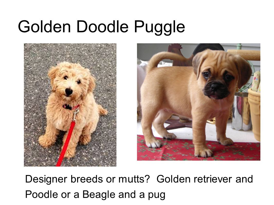 Golden Doodle Puggle Designer breeds or mutts Golden retriever and Poodle or a Beagle and a pug