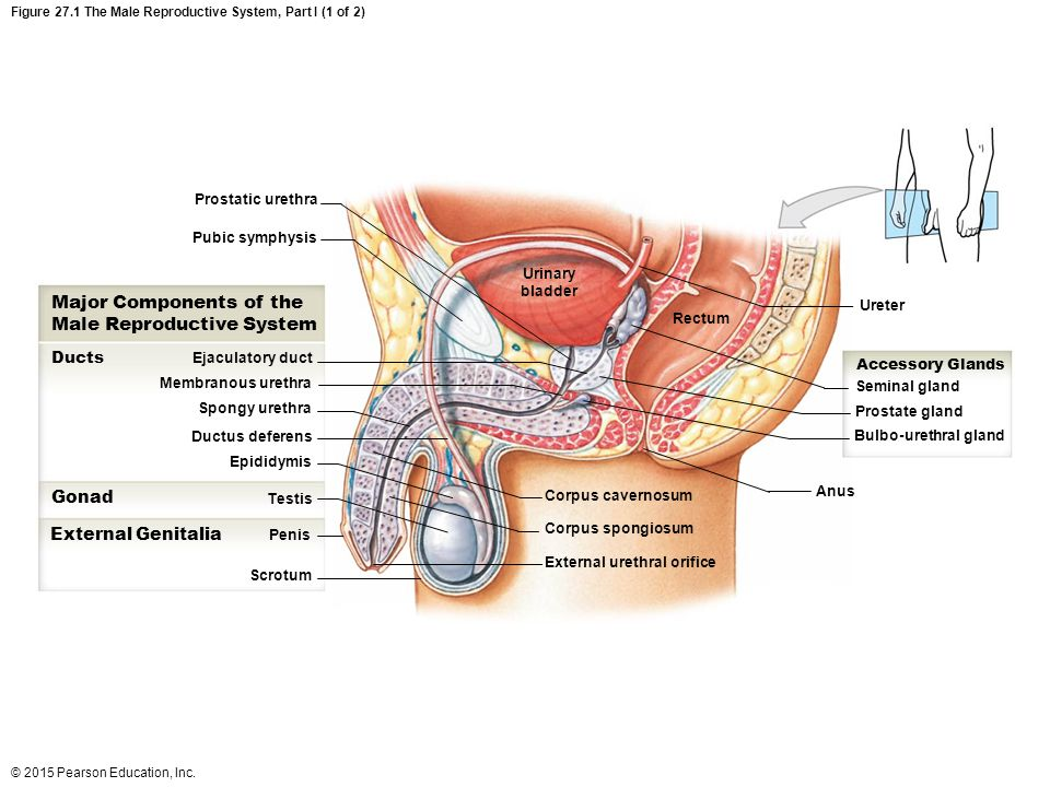 Male Reproductive System Diagram Pearson - Online Schematic Diagram •