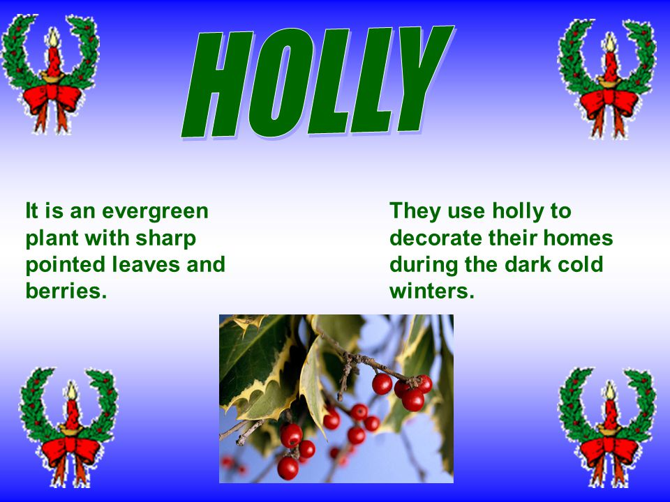 People use holly and mistletoe to decorate their homes.
