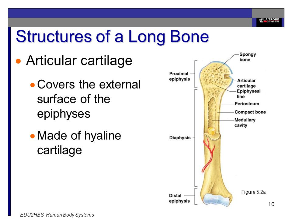 EDU2HBS Human Body Systems 10 Structures of a Long Bone  Articular cartilage  Covers the external surface of the epiphyses  Made of hyaline cartilage Figure 5.2a
