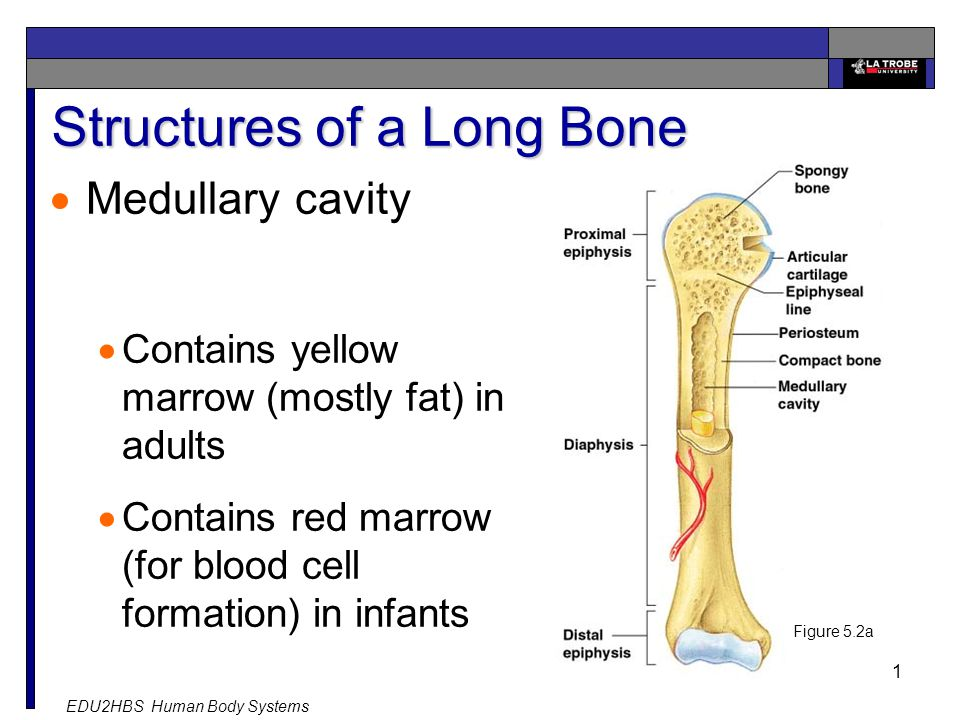 EDU2HBS Human Body Systems 11 Structures of a Long Bone  Medullary cavity  Contains yellow marrow (mostly fat) in adults  Contains red marrow (for blood cell formation) in infants Figure 5.2a