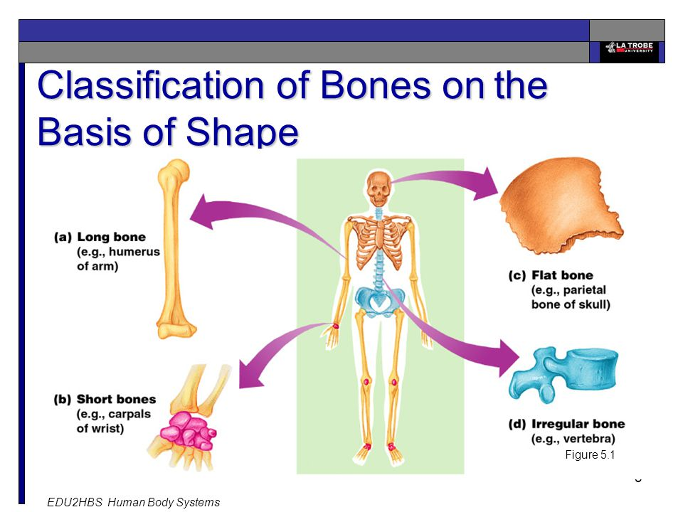 EDU2HBS Human Body Systems 5 Classification of Bones on the Basis of Shape Figure 5.1