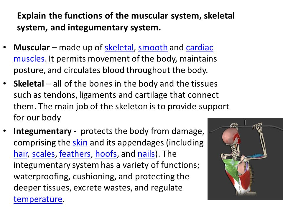 How do skeletal and muscular systems work together to maintain homeostasis?