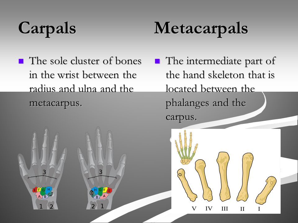 Carpals Metacarpals The sole cluster of bones in the wrist between the radius and ulna and the metacarpus.