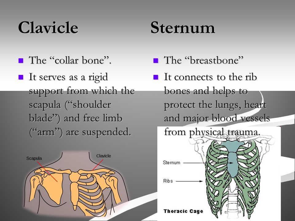 Clavicle Sternum The collar bone . The collar bone .