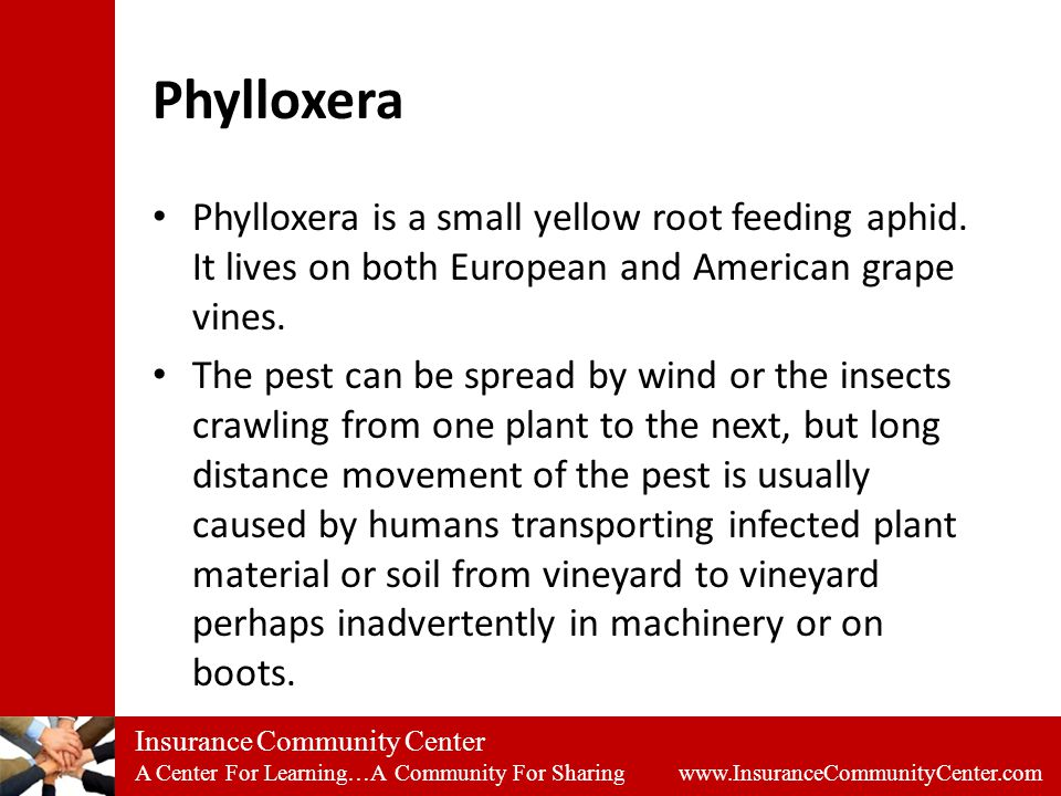 Insurance Community Center A Center For Learning…A Community For Sharing www.InsuranceCommunityCenter.com Phylloxera Phylloxera is a small yellow root feeding aphid.