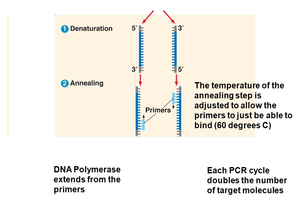 The temperature of the annealing step is adjusted to allow the primers to just be able to bind (60 degrees C) Each DNA Polymerase extends from the primers Each PCR cycle doubles the number of target molecules