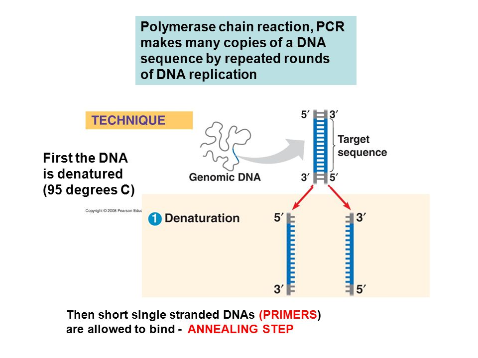 Polymerase chain reaction, PCR makes many copies of a DNA sequence by repeated rounds of DNA replication First the DNA is denatured (95 degrees C) Then short single stranded DNAs (PRIMERS) are allowed to bind - ANNEALING STEP
