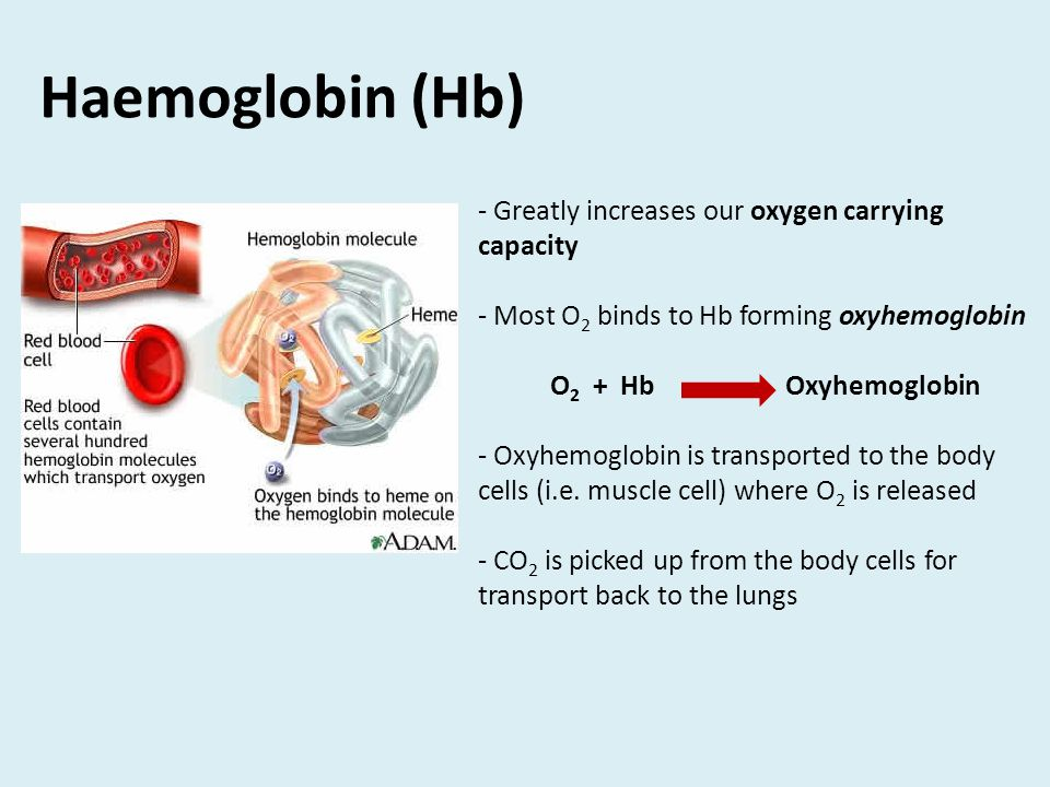 Haemoglobin (Hb) - Greatly increases our oxygen carrying capacity - Most O 2 binds to Hb forming oxyhemoglobin O 2 + Hb Oxyhemoglobin - Oxyhemoglobin is transported to the body cells (i.e.