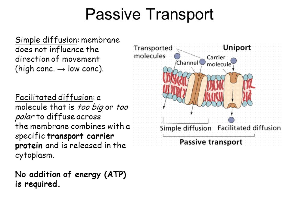 Passive Transport Simple diffusion: membrane does not influence the direction of movement (high conc.