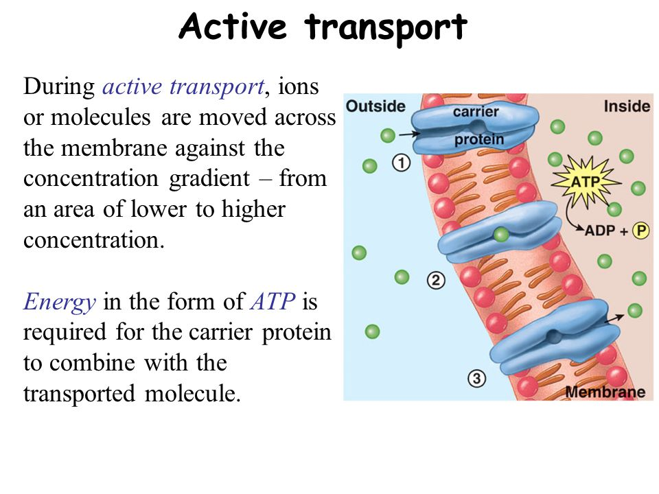 Active transport During active transport, ions or molecules are moved across the membrane against the concentration gradient – from an area of lower to higher concentration.
