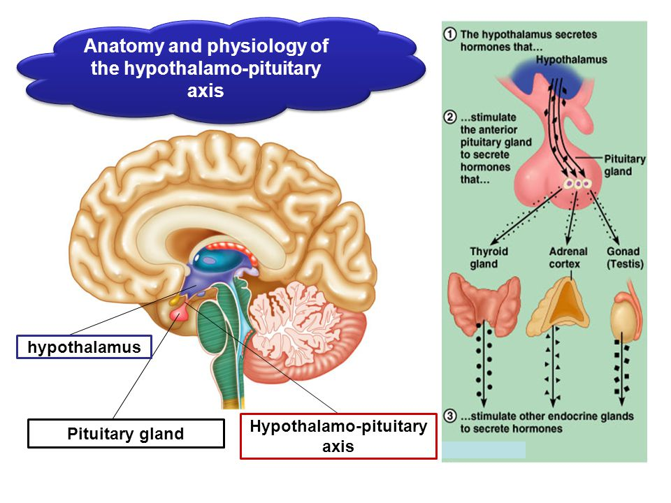 Beautiful Anatomy And Physiology Of Pituitary Gland Photo - Human ...