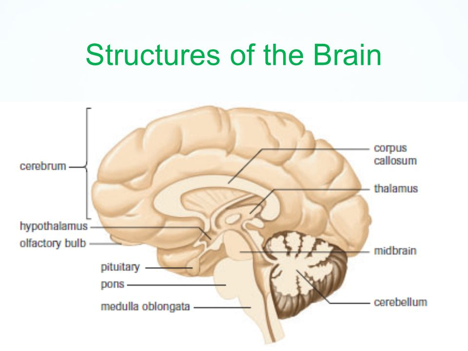 The Brain Structure And Function Cns The Brain And Spinal Cord