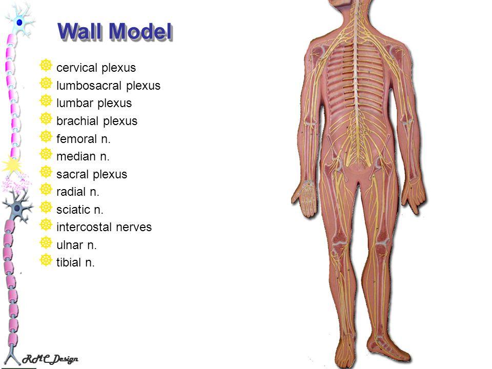 External intercostals model