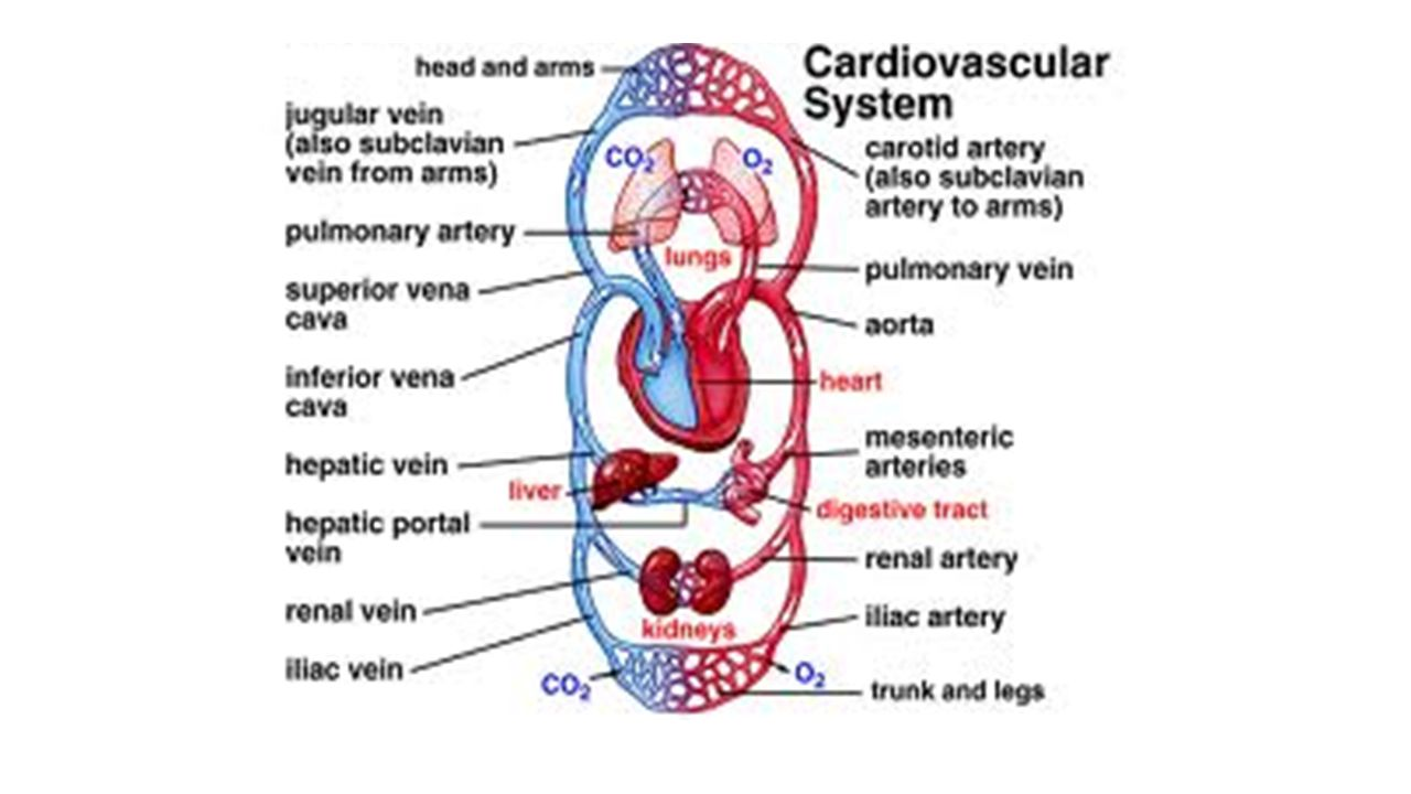 cvsystem bloodreport Laboratory exercise 44 arteries and cardiovascular system  laboratory report contraction and the amount of pressure it imparts to the blood inside a.