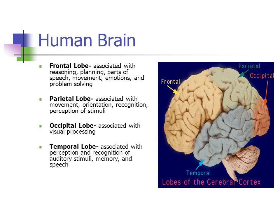 Inside the human brain hsp3m inside the teenage brain adolescence 12 human brain frontal lobe associated ccuart Images