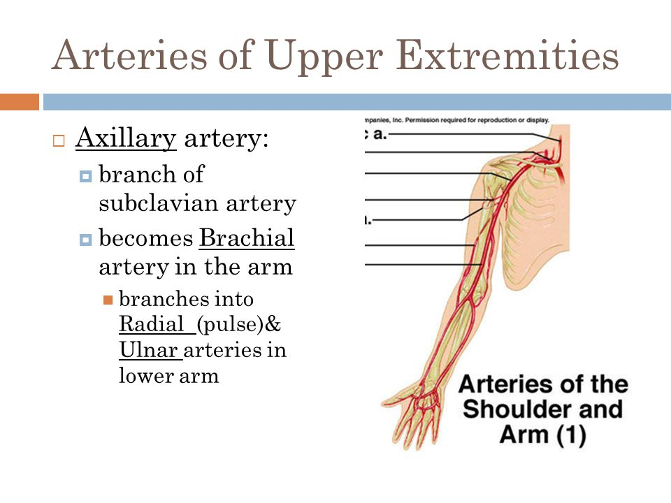 Arteries of Upper Extremities  Axillary artery:  branch of subclavian artery  becomes Brachial artery in the arm branches into Radial (pulse)& Ulna