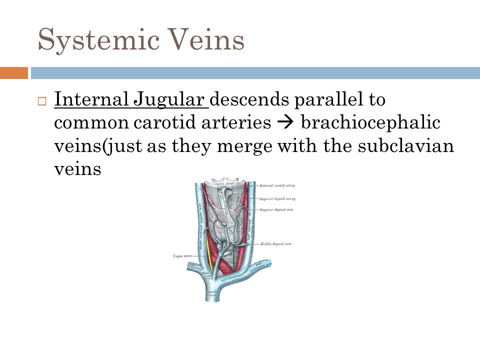 Systemic Veins  Internal Jugular descends parallel to common carotid arteries  brachiocephalic veins(just as they merge with the subclavian veins