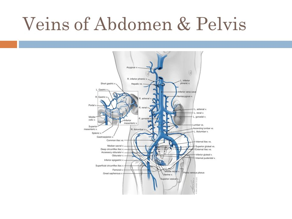 Veins of Abdomen & Pelvis