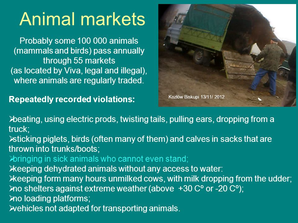 Animal markets Repeatedly recorded violations:  beating, using electric prods, twisting tails, pulling ears, dropping from a truck;  sticking piglets, birds (often many of them) and calves in sacks that are thrown into trunks/boots;  bringing in sick animals who cannot even stand;  keeping dehydrated animals without any access to water:  keeping form many hours unmilked cows, with milk dropping from the udder;  no shelters against extreme weather (above +30 Cº or -20 Cº);  no loading platforms;  vehicles not adapted for transporting animals.