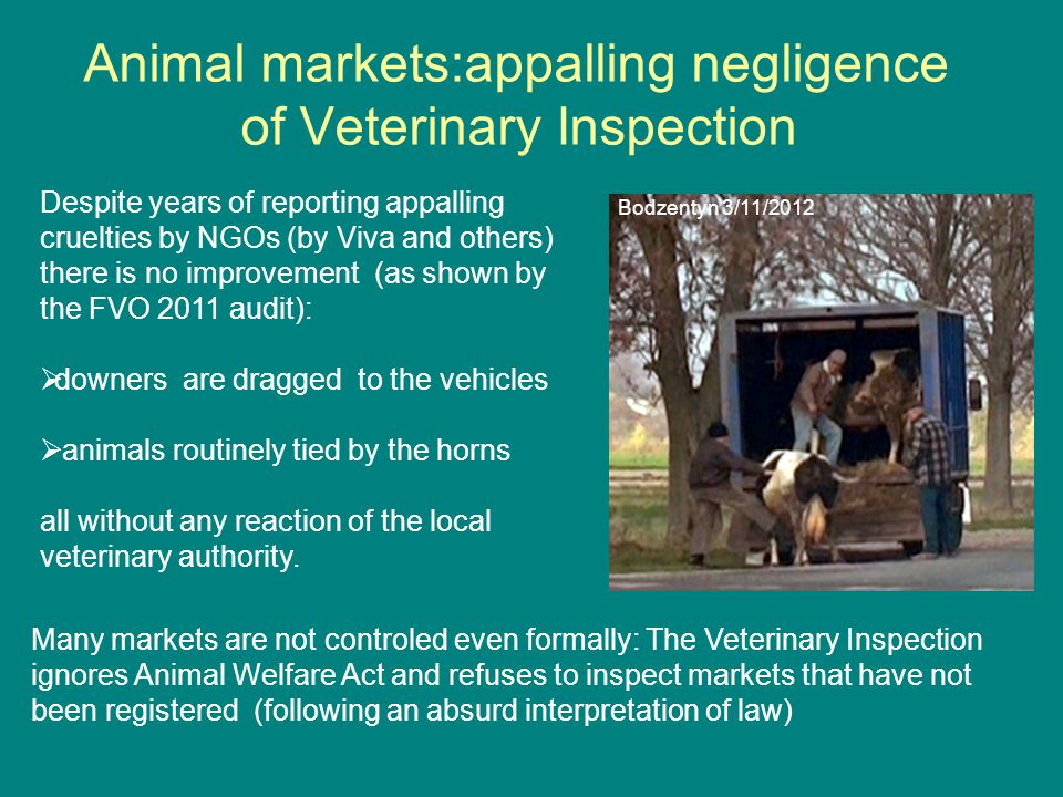 Animal markets:appalling negligence of Veterinary Inspection Despite years of reporting appalling cruelties by NGOs (by Viva and others) there is no improvement (as shown by the FVO 2011 audit):  downers are dragged to the vehicles  animals routinely tied by the horns all without any reaction of the local veterinary authority.