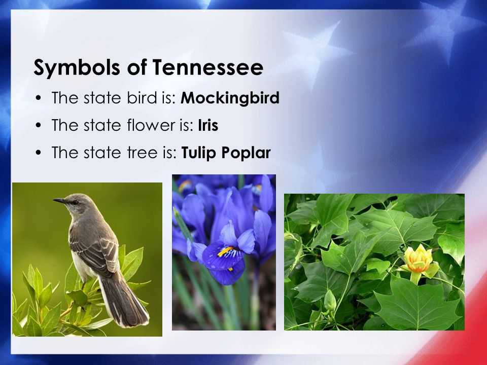 2 Symbols Of Tennessee The State Bird Is Mockingbird Flower Iris Tree Tulip Poplar Nolan 04 05 13 Our 50 States