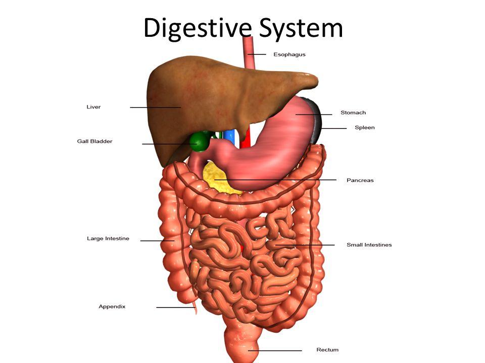 Digestive system httpsyoutubewatchvqywsca lnng 1 digestive system ccuart Gallery