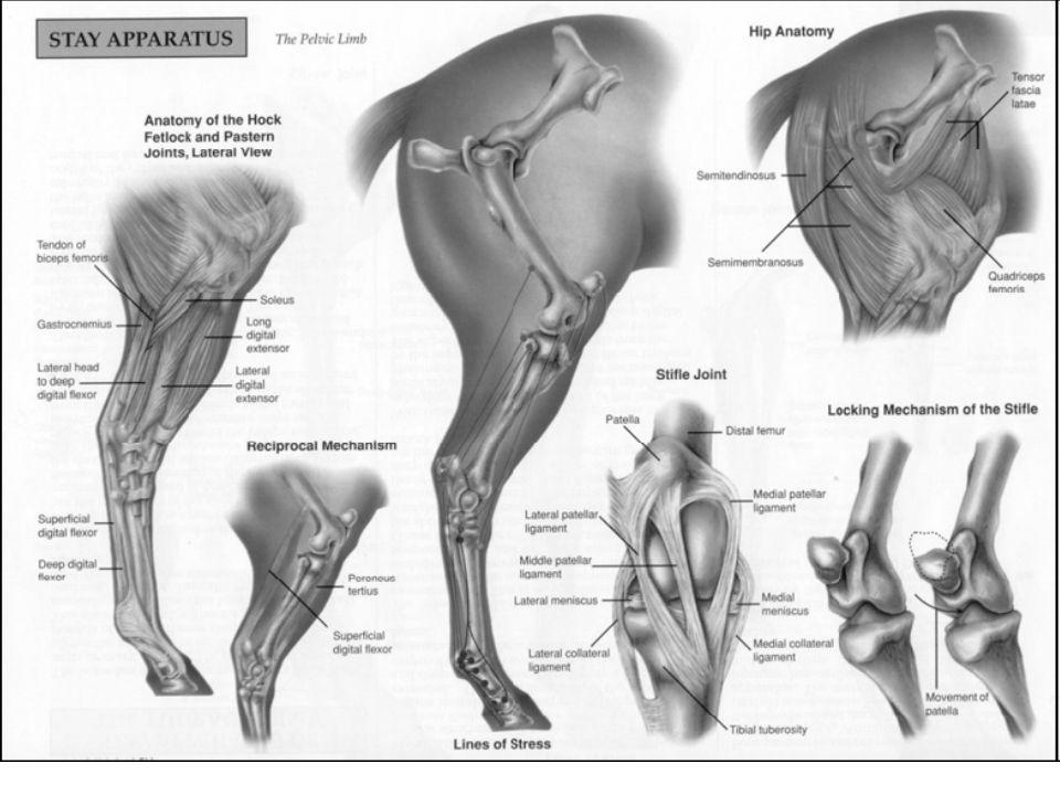 Asombroso Hock Horse Anatomy Festooning - Anatomía de Las ...
