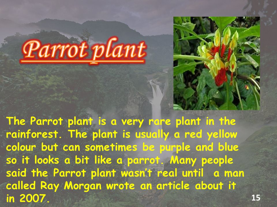 The Parrot plant is a very rare plant in the rainforest.