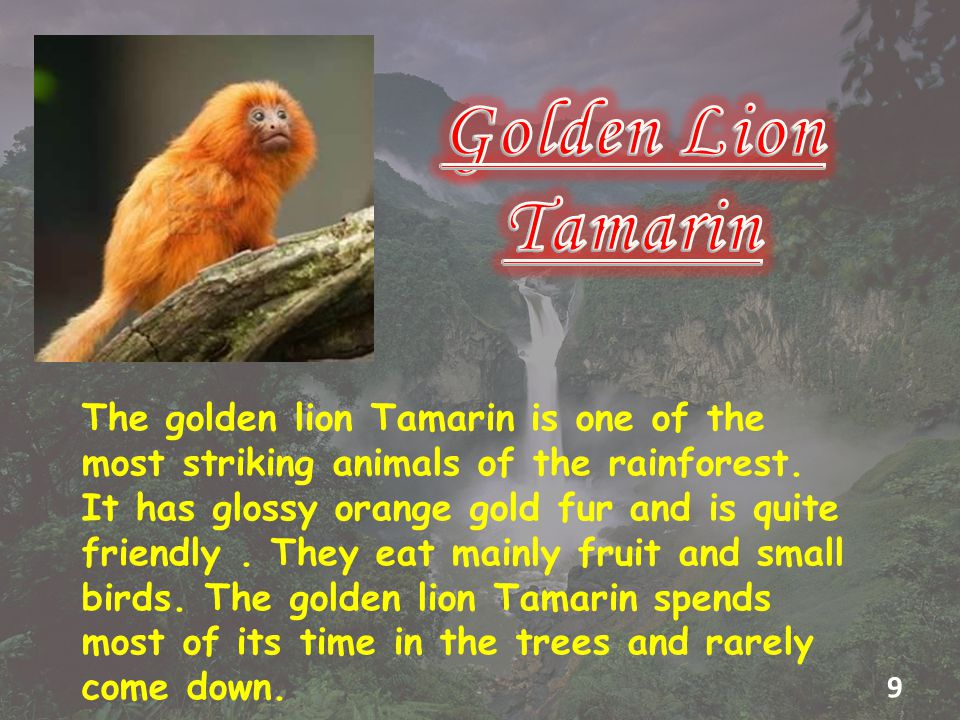 The golden lion Tamarin is one of the most striking animals of the rainforest.