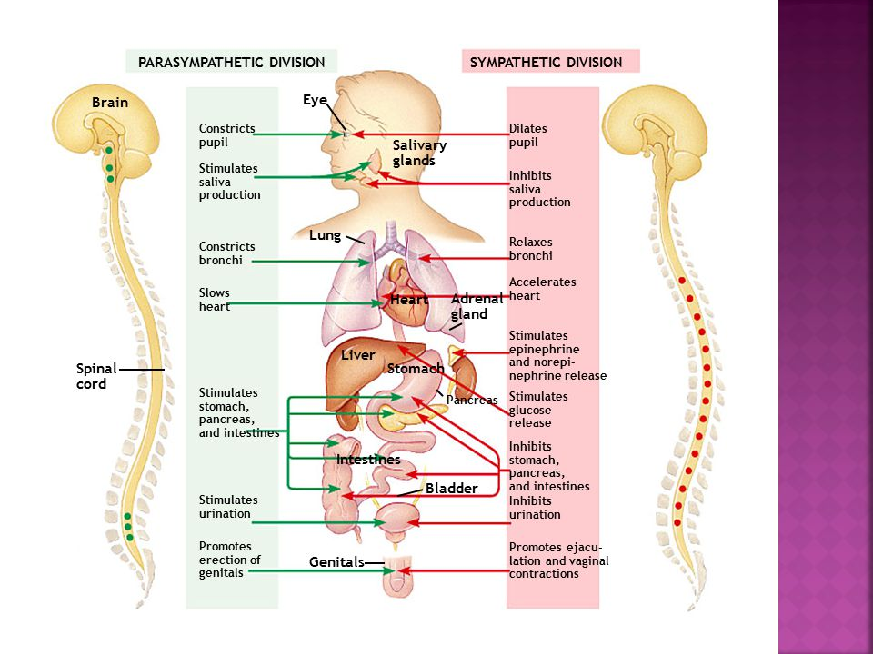 PARASYMPATHETIC DIVISIONSYMPATHETIC DIVISION Brain Constricts pupil Stimulates saliva production Constricts bronchi Slows heart Stimulates stomach, pancreas, and intestines Stimulates urination Promotes erection of genitals Spinal cord Eye Salivary glands Lung Heart Liver Stomach Adrenal gland Pancreas Intestines Bladder Genitals Dilates pupil Inhibits saliva production Relaxes bronchi Accelerates heart Stimulates epinephrine and norepi- nephrine release Stimulates glucose release Inhibits stomach, pancreas, and intestines Inhibits urination Promotes ejacu- lation and vaginal contractions