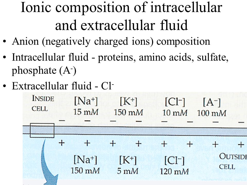 Ionic composition of intracellular and extracellular fluid Anion (negatively charged ions) composition Intracellular fluid - proteins, amino acids, sulfate, phosphate (A - ) Extracellular fluid - Cl -