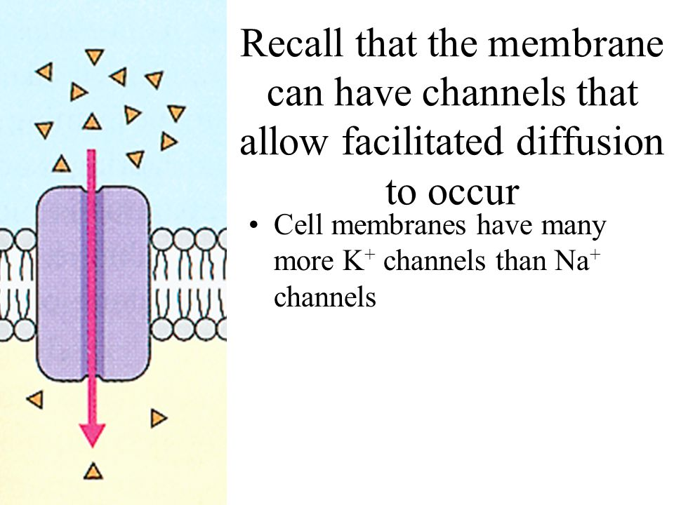 Recall that the membrane can have channels that allow facilitated diffusion to occur Cell membranes have many more K + channels than Na + channels
