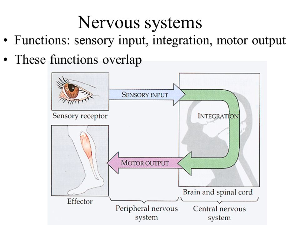 Nervous systems Functions: sensory input, integration, motor output These functions overlap