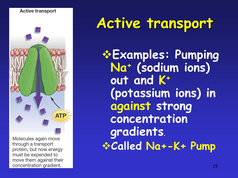 19 Active transport  Examples: Pumping Na + (sodium ions) out and K + (potassium ions) in against strong concentration gradients.