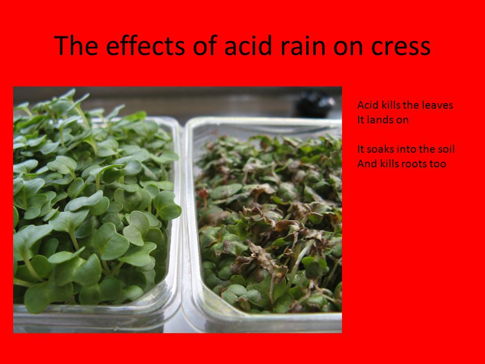 The effects of acid rain on cress Acid kills the leaves It lands on It soaks into the soil And kills roots too