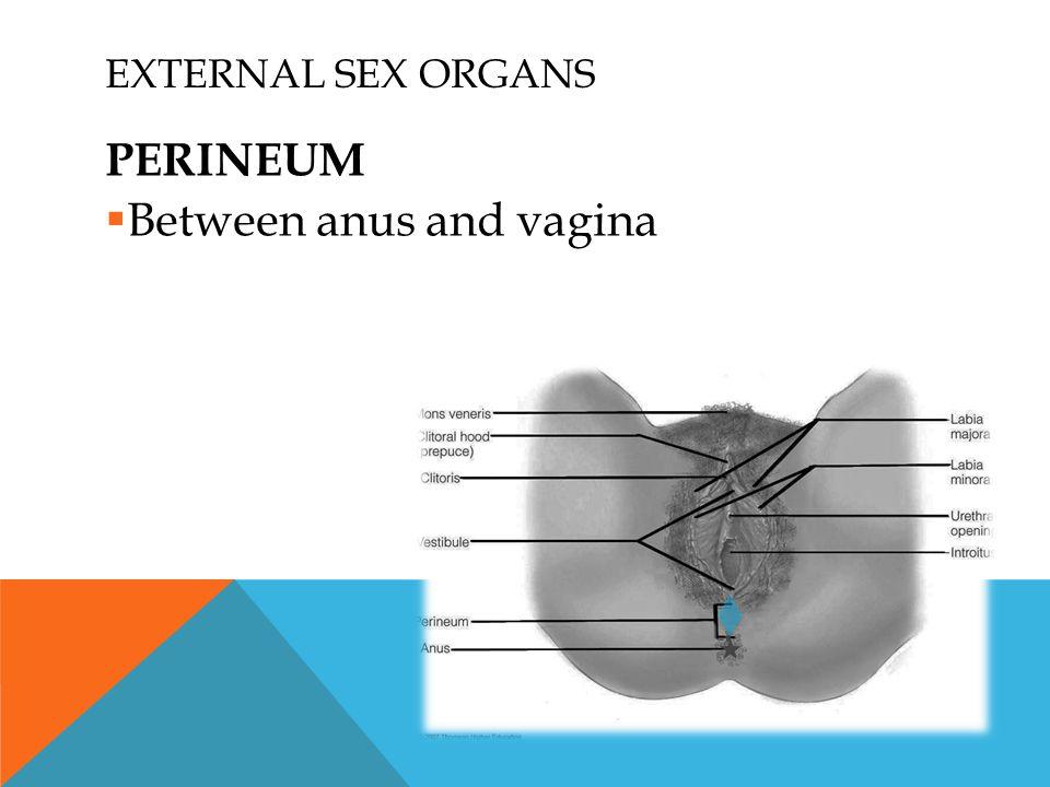 EXTERNAL SEX ORGANS PERINEUM  Between anus and vagina